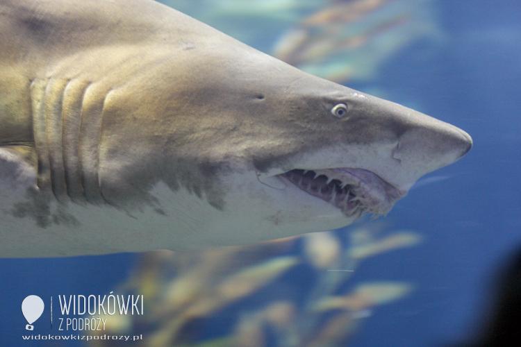 White shark. Loro Park.
