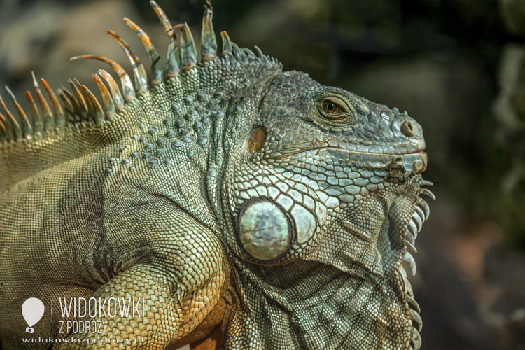 Iguana in the sun. Loro Parque.