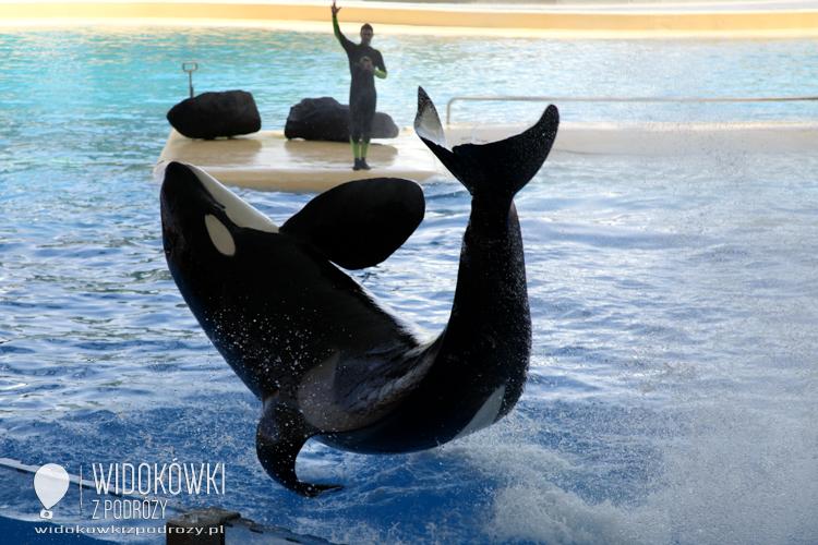 Orcas on show. Loro Parque.