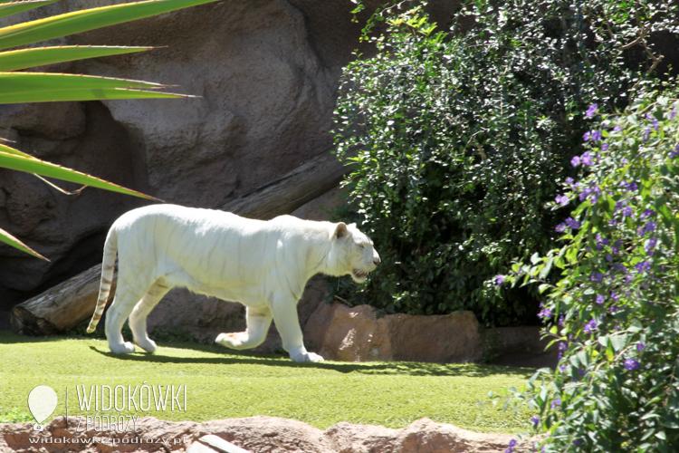 White Tiger. Loro Park.
