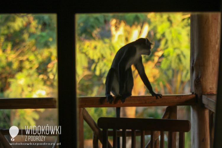 Hotelbanditen means macaque as a hotel thief.