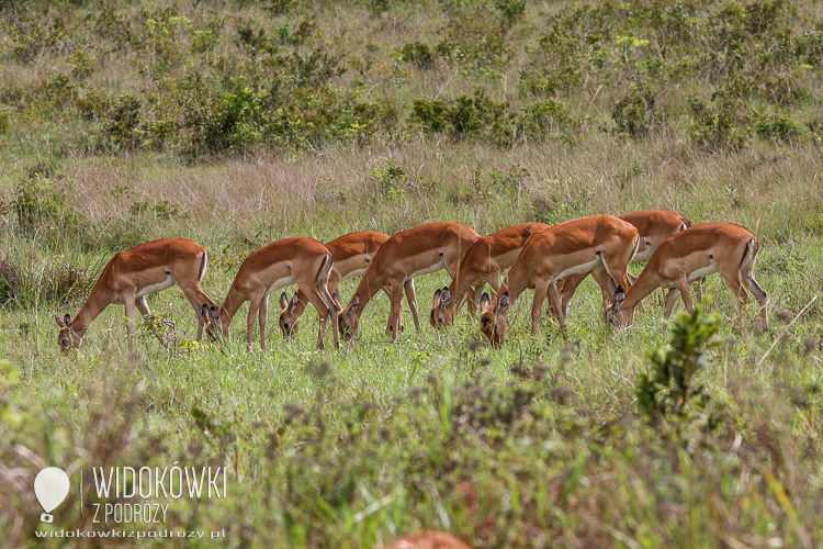 Oribi antelope.