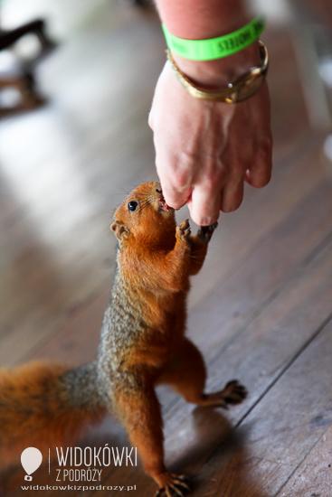 African squirrel.