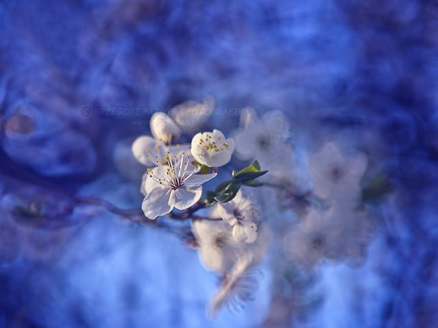 Śliwki kwiat :) Troszkę inne niż wszystkie moje foty ;)
